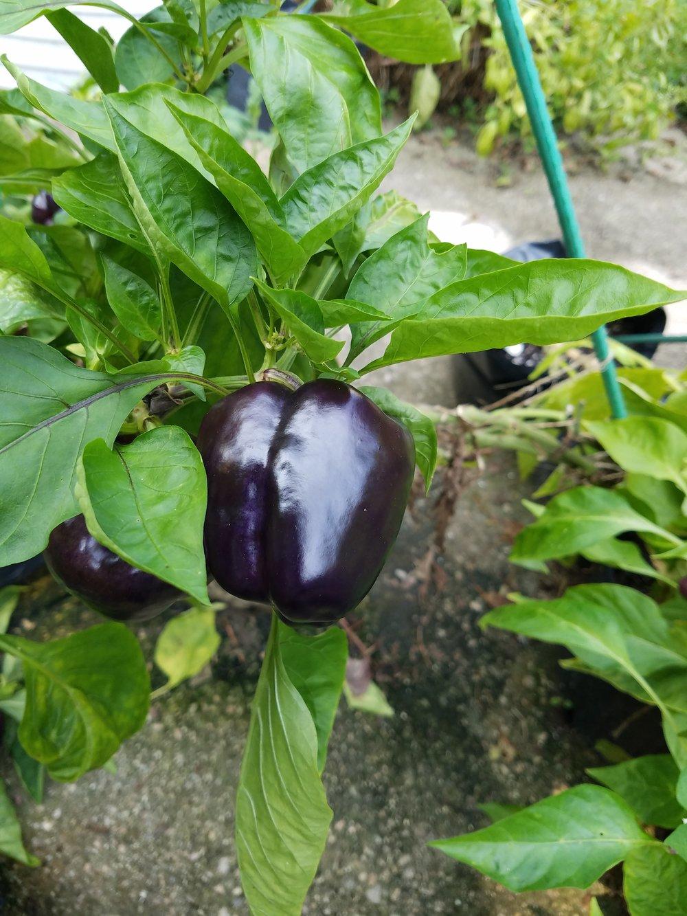 Royal Purple showing it's unripe, dark purple color....it will ripen deep red