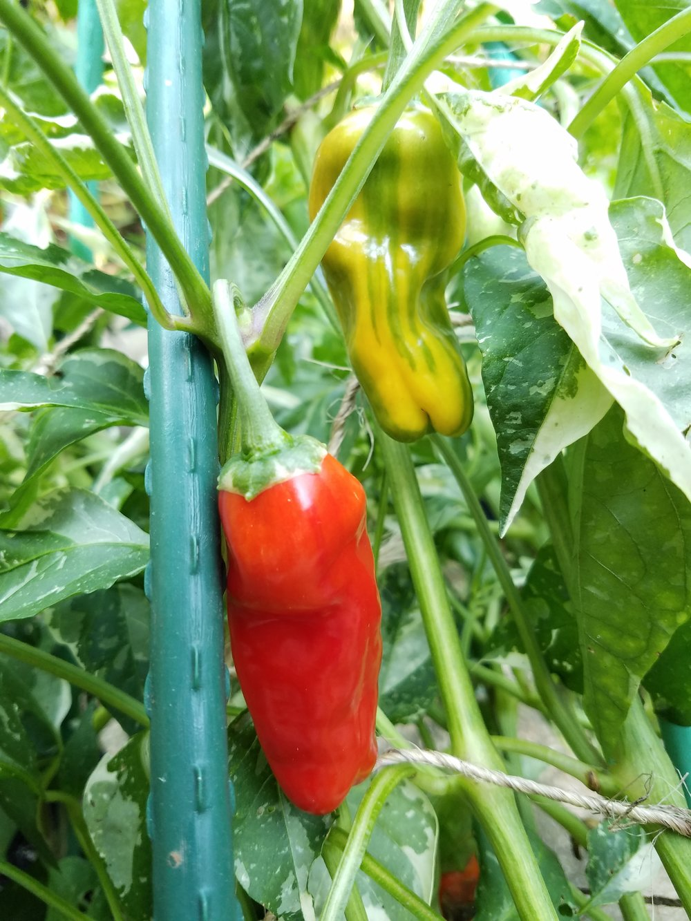 Variegated sweet pepper selection