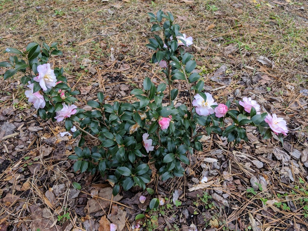 winter blooming camellia, reminds us of our beloved chocolate lab Mocha (her ashes are buried on this spot)