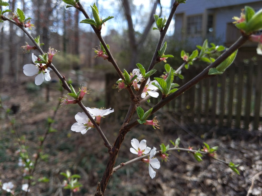Flowering cherry making an early appearance