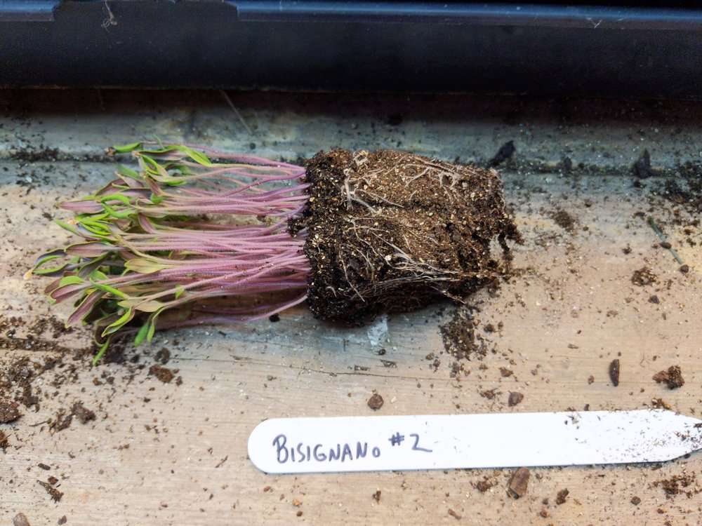 with just a gentle squeeze, the plug of more than 30 seedlings pops easily out