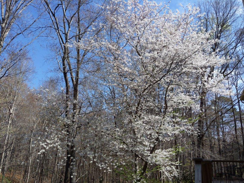 our backyard cherry tree quickly popped open with the spring weather this week.