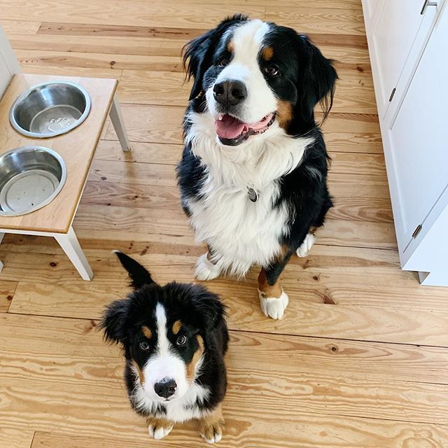 Always looking for that next meal! ⠀ ⠀ We made this custom dog bowl holder and Moose + Whiskey are our biggest fans 🐶🐶⠀@ifyougiveamooseawhiskey ⠀ If you have a pup in your life and are interested in one, DM us! ⠀ ⠀ #customdogbowl #dogbowls #whiskeyandmoose #bernesemountaindogs #dogsofinstagram #dogbowlstand #spoiledpups #customwoodwork #woodworkingfun #acgraylingfurniture
