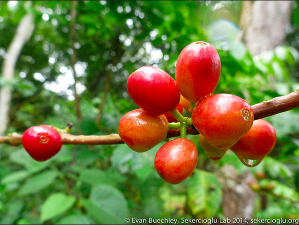 Red Coffee Cherries. Photo by Evan Buechley via Flickr