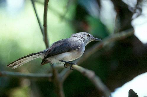 Allpahuayo-Mishuna Reserve - Iquitos - Unknown Bird Species