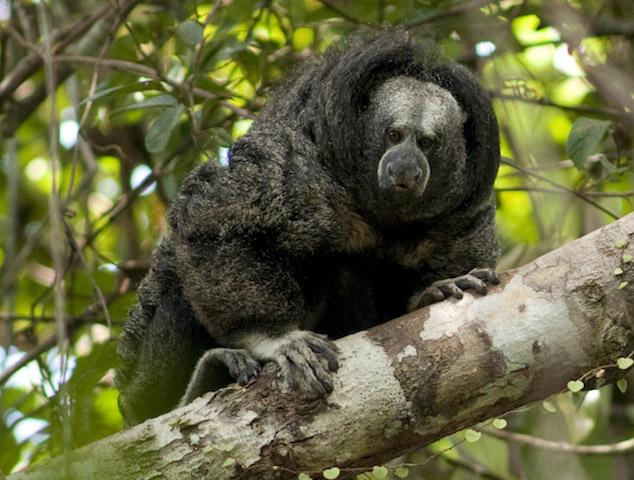 Allpahuayo-Mishuna Reserve - Iquitos - Equatorial Saki Monkey