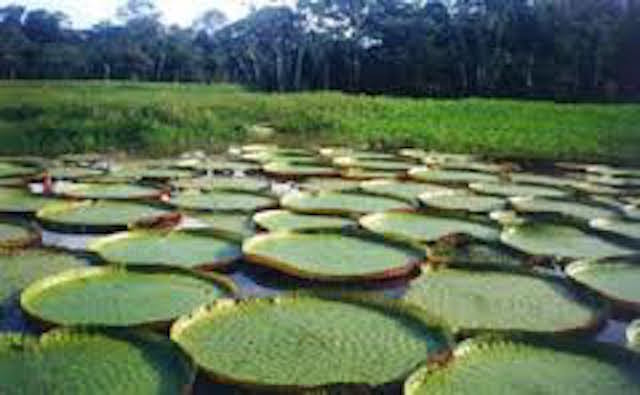 Amazon Rain Forest - Victoria Regia