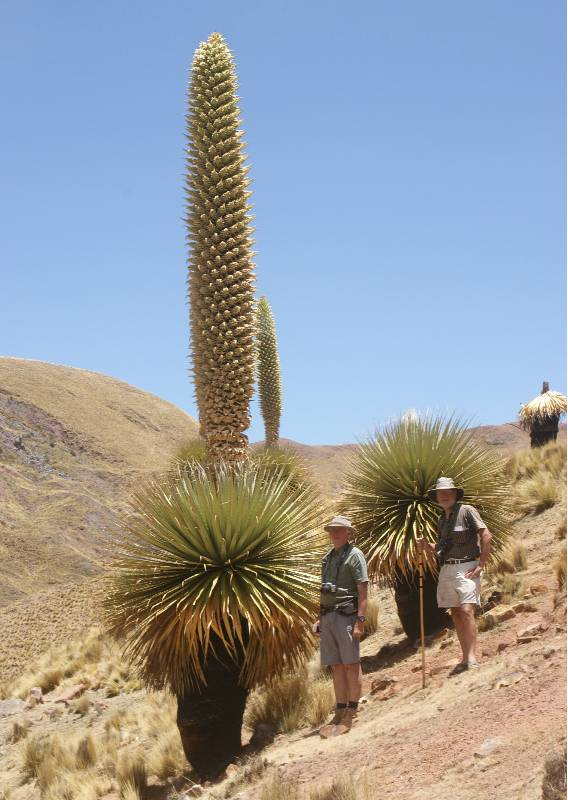 Puya raimondii - Huascaran National Park