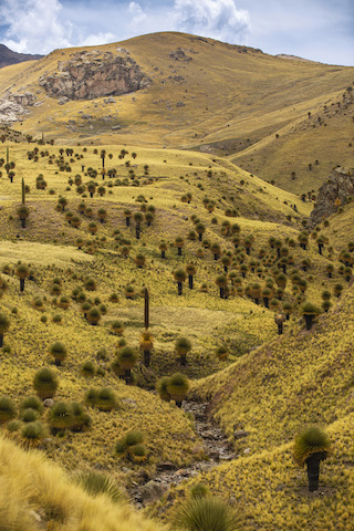 Puya Raimondii - Tarucani, Ayaviri, Puno
