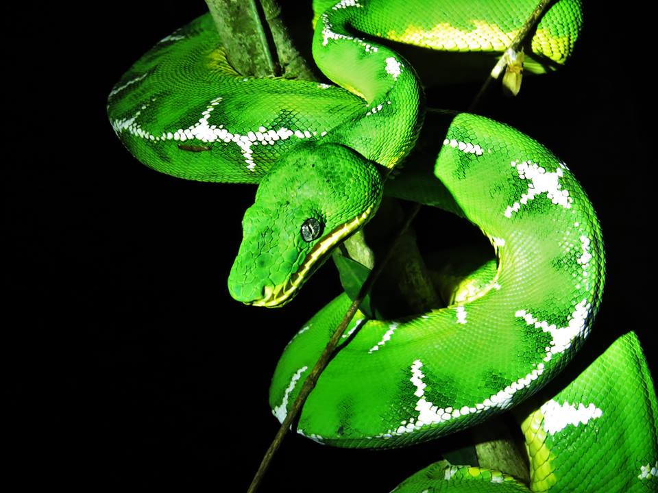 Emerald Tree Boa - Tahuayo Lodge.jpg