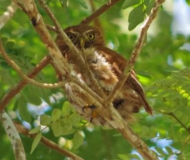 Ferruginous Pygmy Owl - Tahuayo.jpg