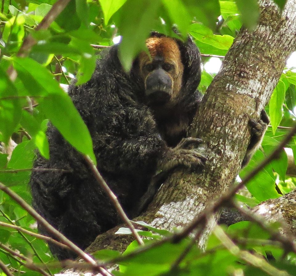 Saki Monkey - Tahuayo Lodge.jpg