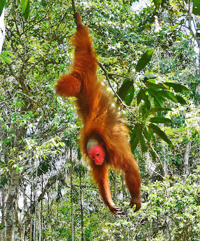 Red bald-headed uakari in Tamshiyacu-Tahuayo.