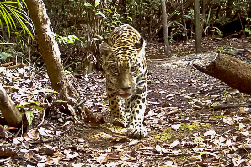 Jaguar captured on motion-activated camera.