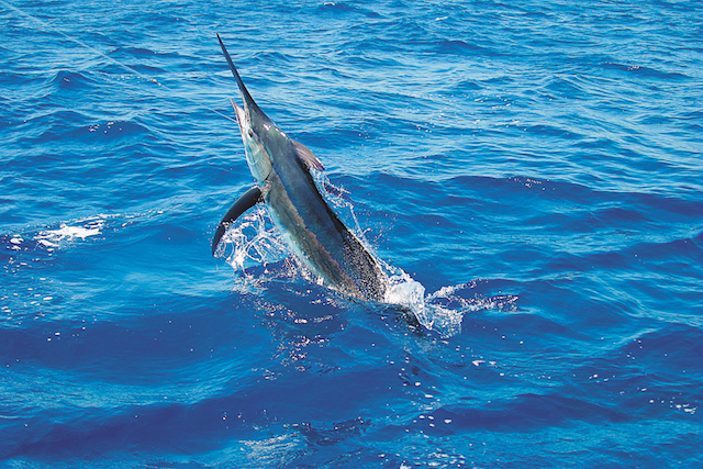 Black Marlin in Northern Peru's Pacific.