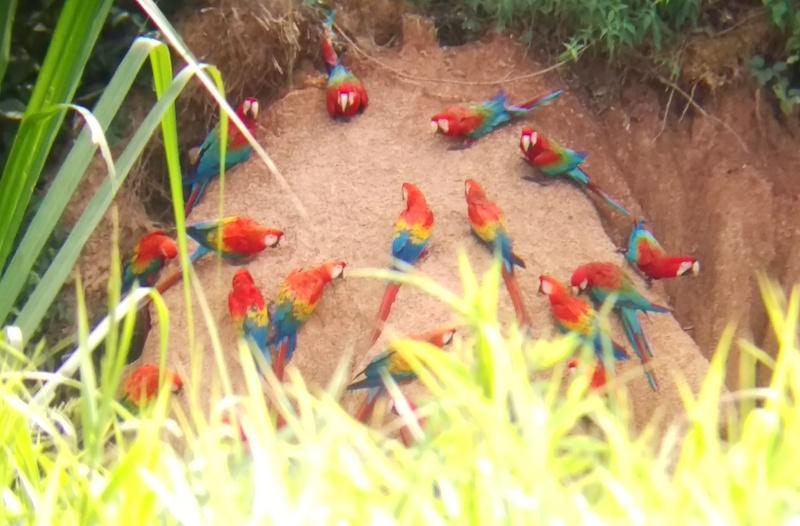 Mizen x 2 - Tambopata Research Center - Macaw Clay Lick.jpg
