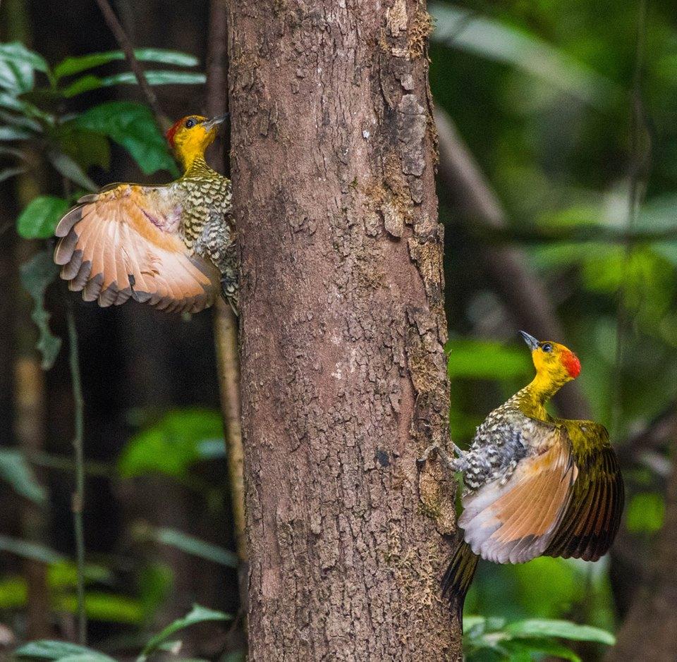 Northern Peru Birding Route - Yellow-throated Woodpecker - Tahuayo.jpg