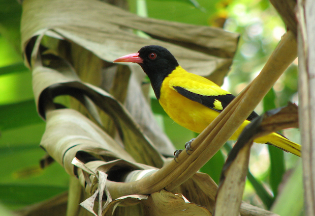 Northern Peru Birding Route - Black-Hooded-Oriole.jpg