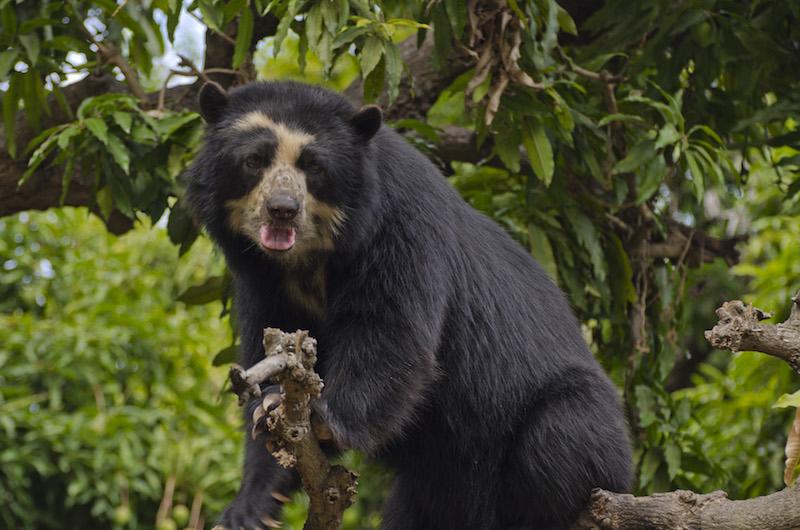 Chaparri Ecological Reserve - Spectacled Bear.jpg