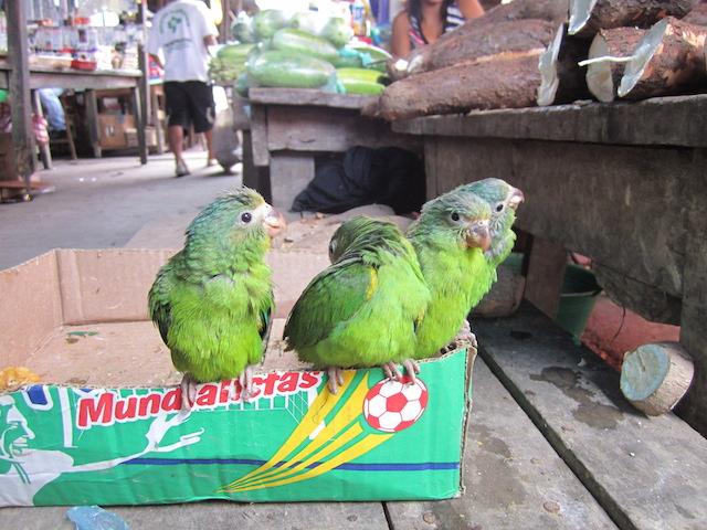 Iquitos, Loreto - Belen Market - Parrots for Sale.JPG