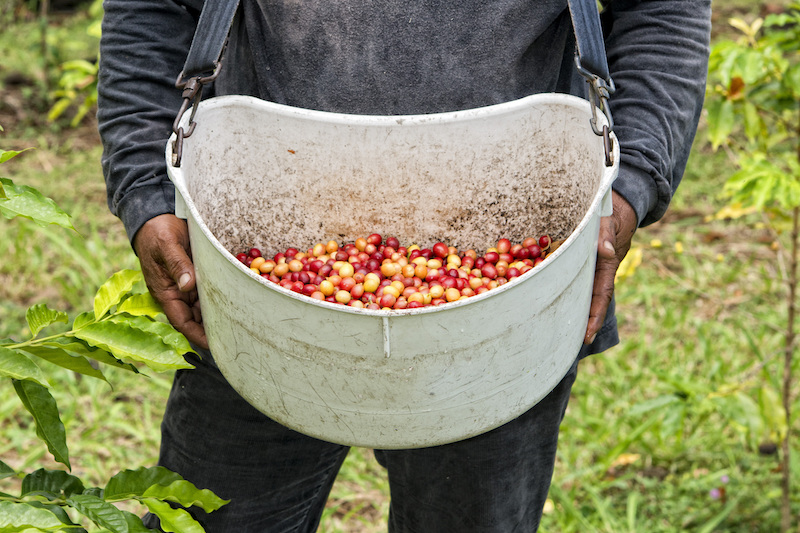 Colombian Highlights - Coffee Region - Coffee Picker.jpg