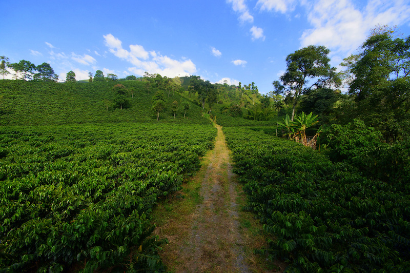 Colombian Highlights - Coffee Region - Plantation.jpg