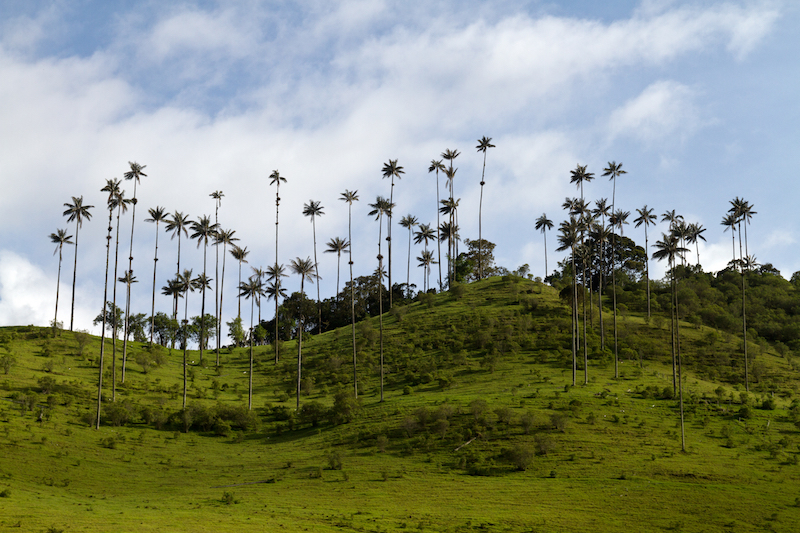 Colombian Highlights - Coffee Region - Wax Palms on Hillside.jpg