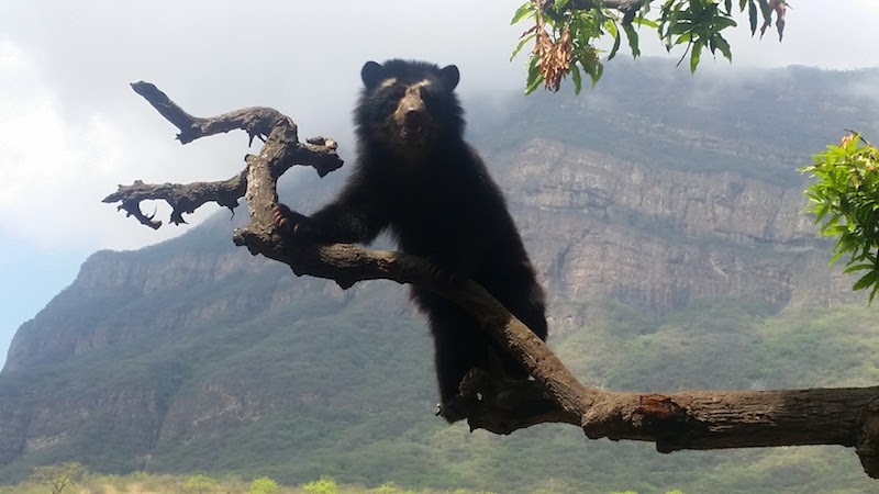 Spectacled bear with Chaparri Mountain as backdrop.