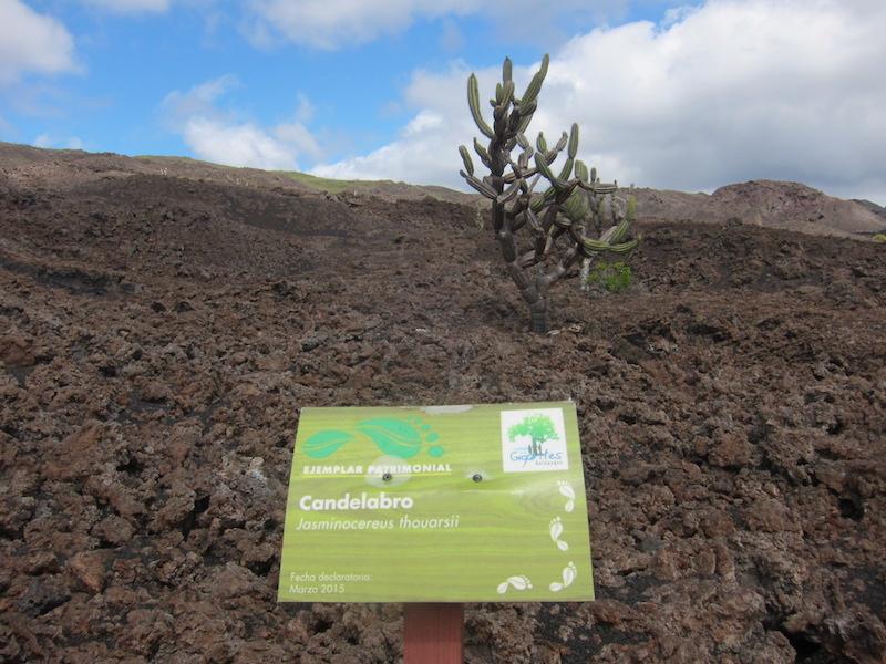 Galapagos Islands 5D - Candelabra Cactus.jpg