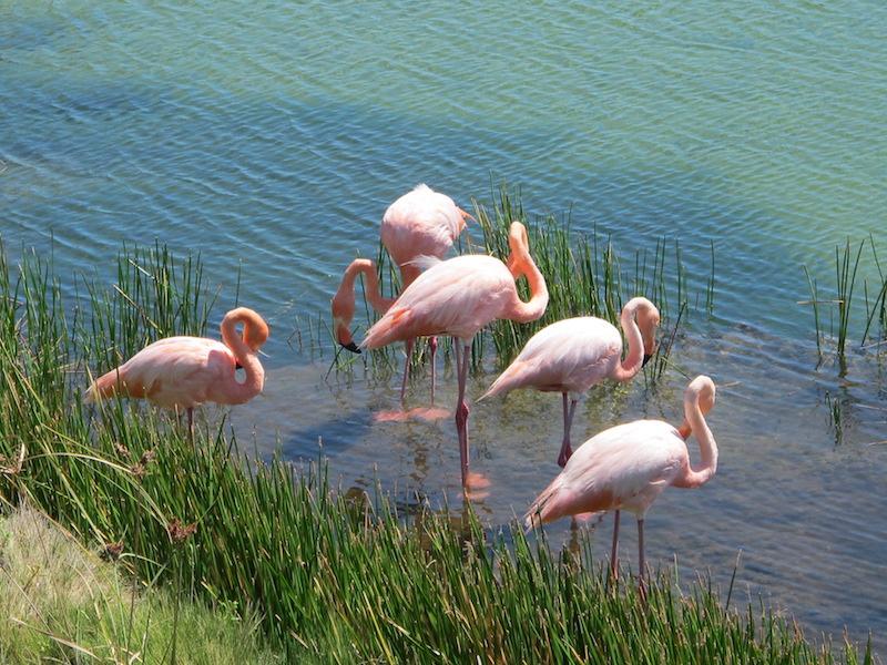 Galapagos Islands 5D - Flamingos.JPG
