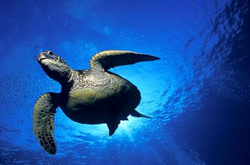 Galapagos Islands 5D - Galapagos Sea Turtle.jpg