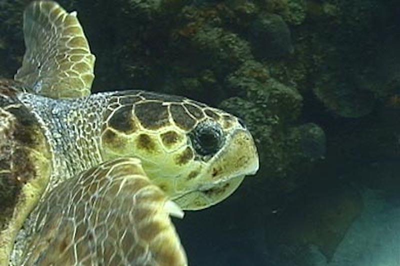 Galapagos Islands 5D - Hawksbill Turtle.jpg