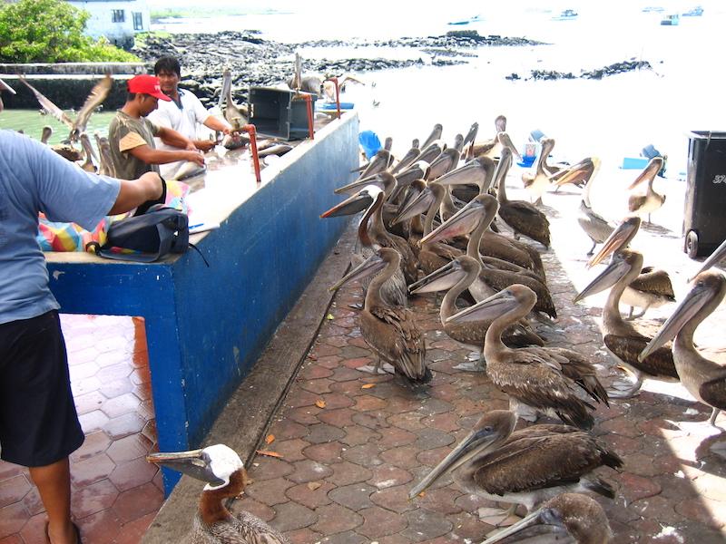 Galapagos Islands 5D - Pelicans.jpg