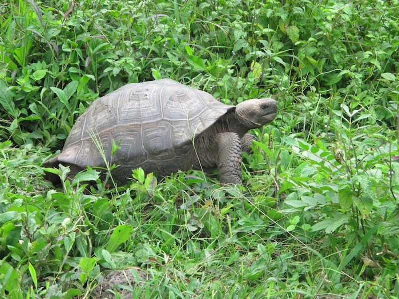 Galapagos Islands 5D - Tortoise.JPG