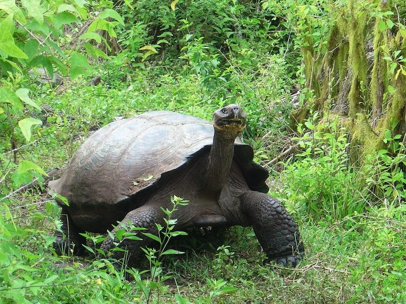 Galapagos Islands 5D - Galapagos Tortoise.jpg