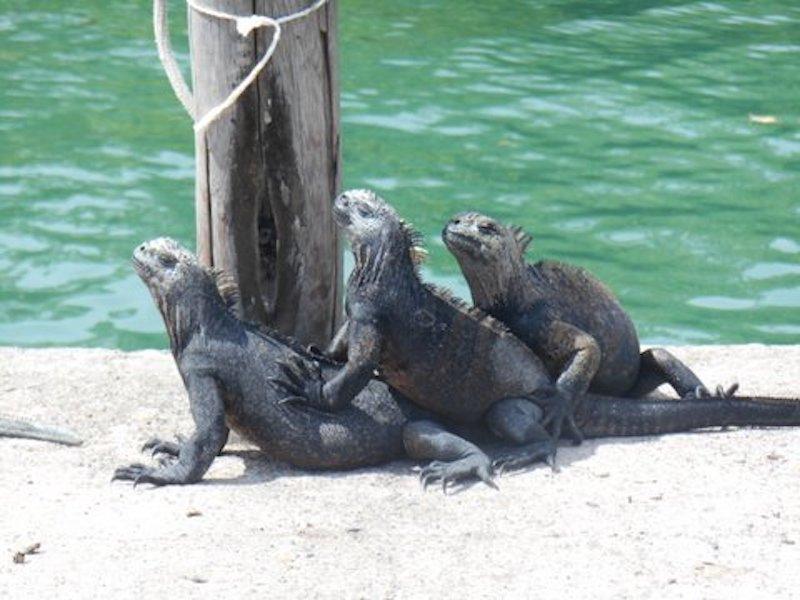 Galapagos Islands 5D - Iguanas Relaxing.jpg