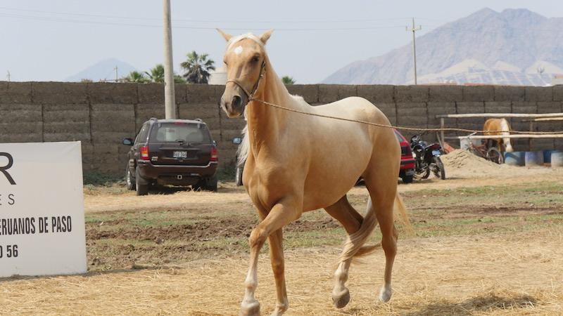 Peruvian Paso Horse in Trujillo