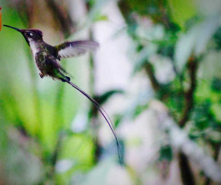 Tarapoto - Trujillo 9D - Marvellous Spatuletail Hummingbird.jpg