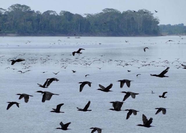 Cormorants in flight in Amazonia.jpg