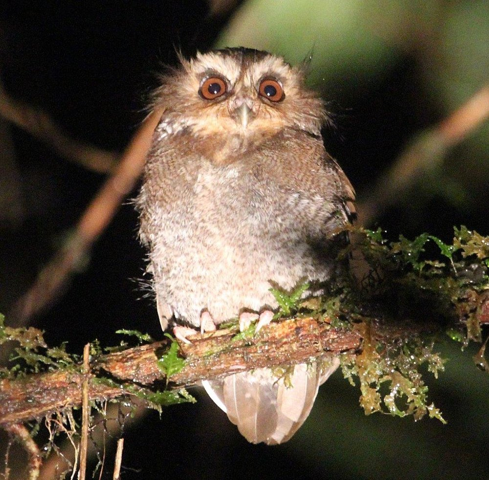 Long-whiskered Owlet at Abra Patricia.