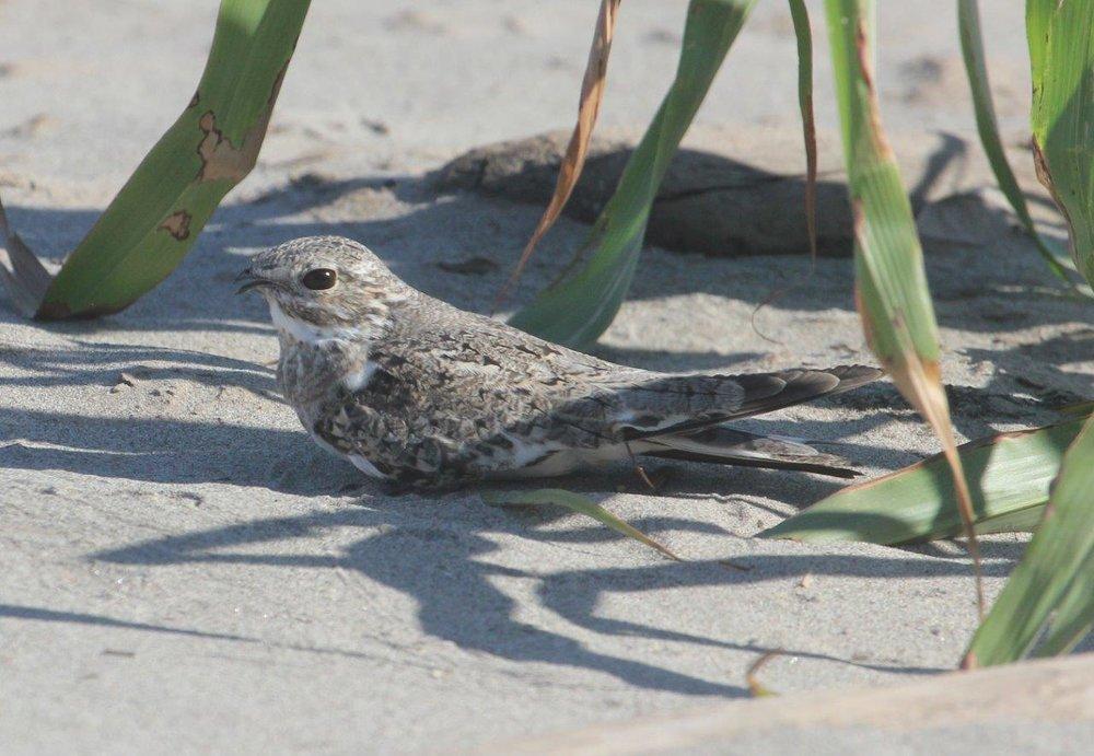 Sand-coloured Nighthawk.