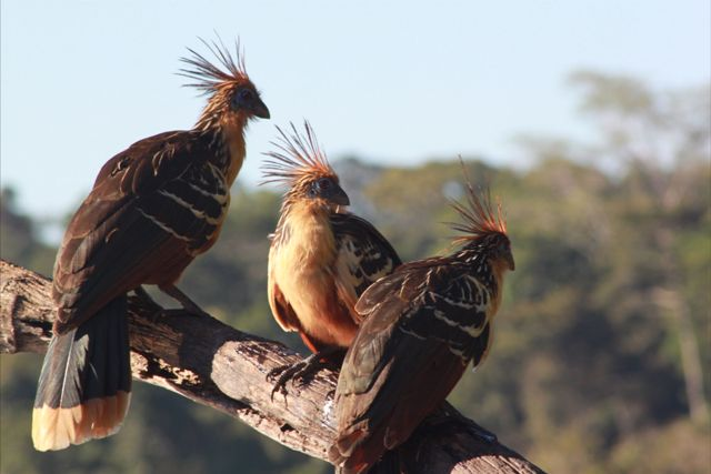 Hoatzin, known affectionately as 'Stinky Turkeys'.