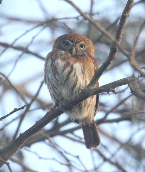 Peruvian Pygmy Owl at  Gotas de Agua  Reserve.