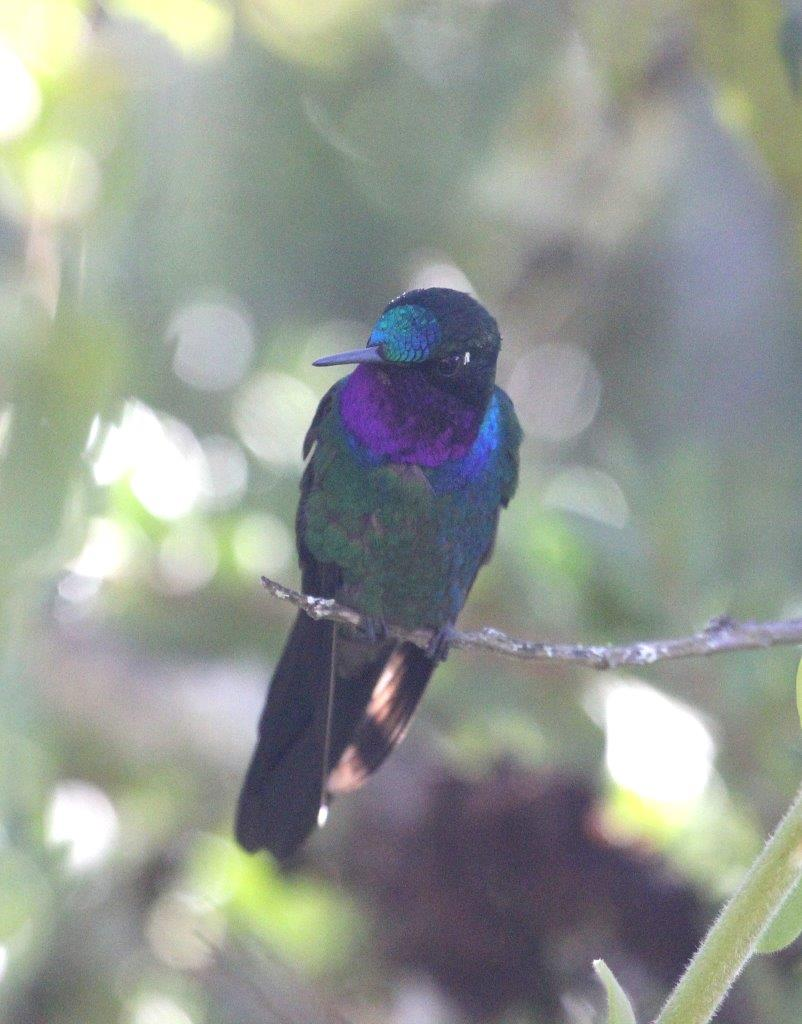 Northern Andes & Marañon Endemics 6D