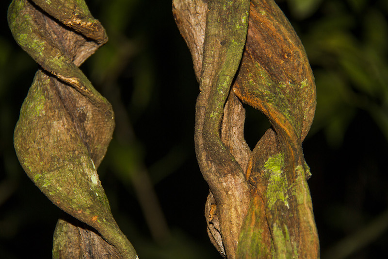A close-up of the Ayahuasca vine.