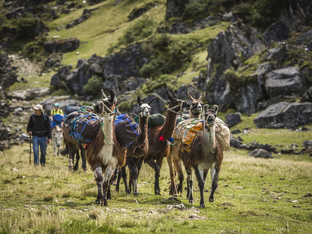 Llamas carrying trek provisions.