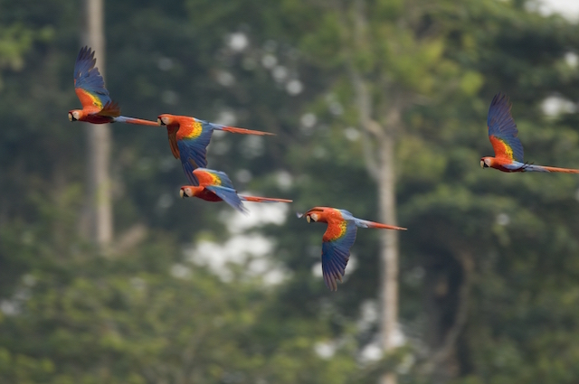 Red & Blue Macaws in flight, Tambopata.