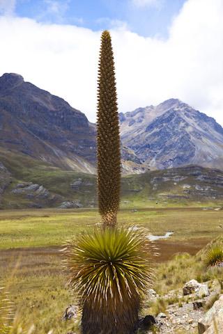 Puya Raimondi in  Cordillera Blanca .