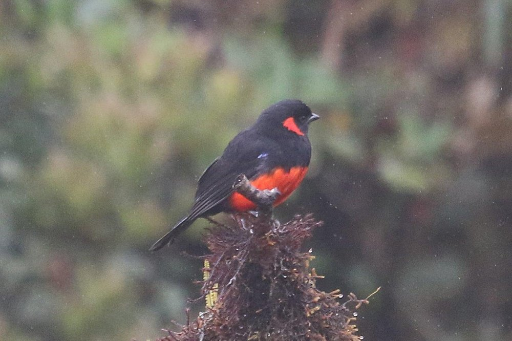 Northern Peru Birding Route 15D