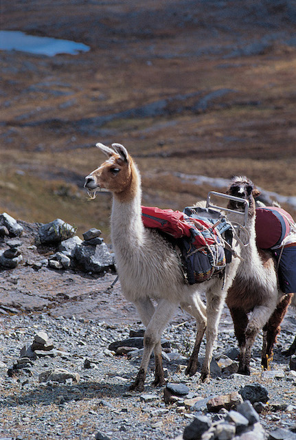 Working llamas on the Santa Cruz trail.